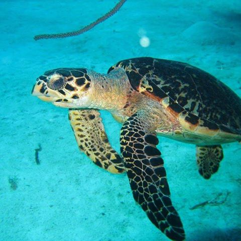 turtle cayman brac scuba diving
